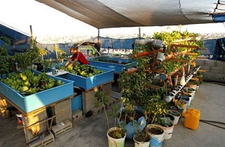 Rooftop farming in Gaza || photo by Mohammad Abed